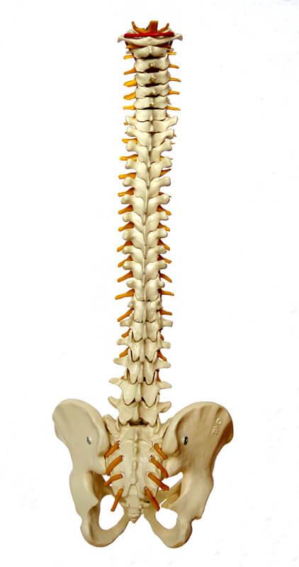 Amerikanische Chiropraktik nach Palmer: die sanfte Behandlung